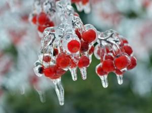 Christmas Berries